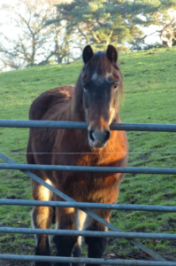 A photo of Charlie the pony standing in front of a metal gate in a field